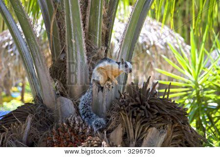 Costa Rican Eichhörnchen