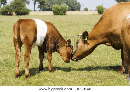 Mother And Child Calf