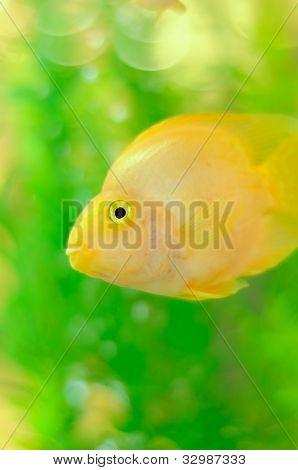 Gold Parrot Fish In Aquarium