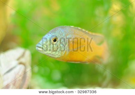 Copadichromis Fish In Aquarium