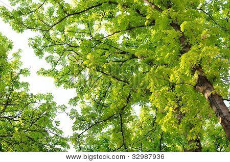 Rosskastanie (Conker) Bäume