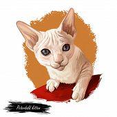 Peterbald Kitten Digital Art Illustration. Felis Catus From Russia, Russian Feline Breed Of Domestic poster