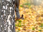 Autumn Squirrel Climbs Down The Tree Trunk. Curious Cute European Red Squirrel Climbs Down The Birch poster