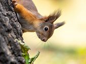 Portrait Of A Squirrel On A Tree Trunk. A Curious Red Squirrel Peeks Out From Behind A Tree Trunk poster