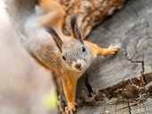 Portrait Of A Squirrel On A Tree Trunk. A Curious Red Squirrel Peeks Out From Behind A Trunk Of A Sa poster