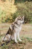 Cute purebred husky dog with creative handmade collar and leash sitting on forest path on autumn day poster