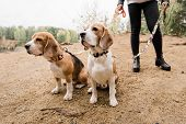 Two cute purebred beagles sitting on sand while chilling with their owner by lake in rural environme poster