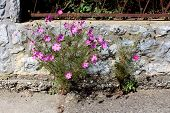 Garden Cosmos Or Cosmos Bipinnatus Or Mexican Aster Half Hardy Annual Plant With Fully Blooming Brig poster