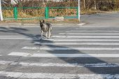 Vagrant Dog Crossing The Road On The Crosswalk Alone. Errant Canine Animal On The Street Observing R poster
