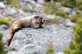 A Large Hoary Marmot (marmota Caligata) Rests On A Boulder Amongst The Scree Slopes Of A Mountain In poster