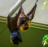 Closeup Of A Rodrigues Flying Fox On The Ceiling, Tropical Mega Bat, Endangered Animal Specie From A poster