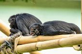 The Black-headed Spider Monkey, Ateles Fusciceps Is A Species Of Spider Monkey, A Type Of New World  poster