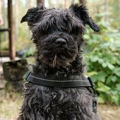 Funny Shaggy Dog Schnauzer, With A Pine Needle Stuck To Its Fur, Obediently Sits In The Yard And Sta poster