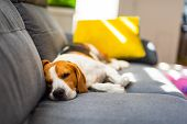 Beagle Dog Tired Sleeps On A Cozy Couch In Funny Position. Adorable Canine Background poster