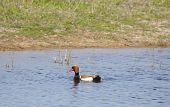The Pochard Netta Rufina Or