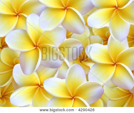 Plumeria Background