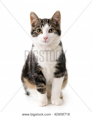 Cat against a white background