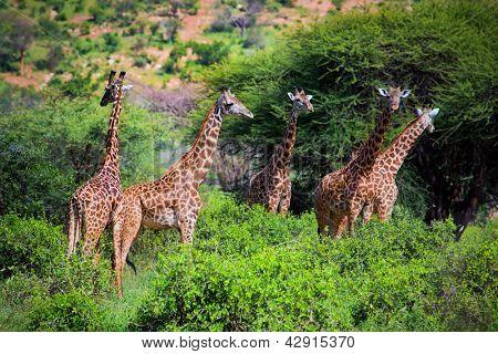 Three giraffes on savanna. Safari in Tsavo West, Kenya, Africa