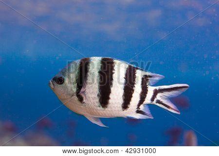 Sergeant Major Fish Closeup