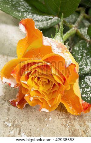 Snow On Rose...