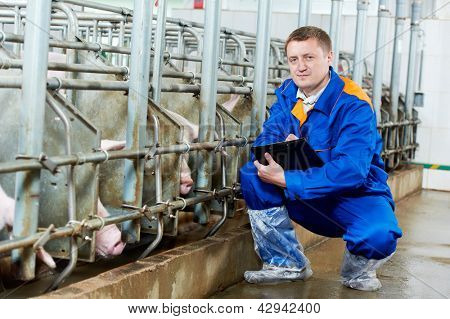 Veterinarian doctor worker at agriculture reproduction farm or pork plant inspecting pig