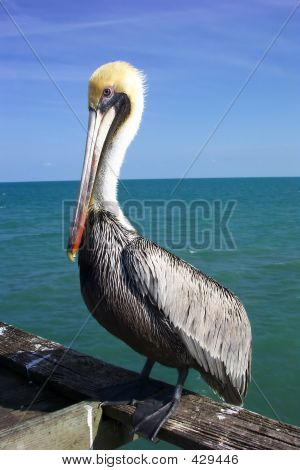 Friendly Pelican