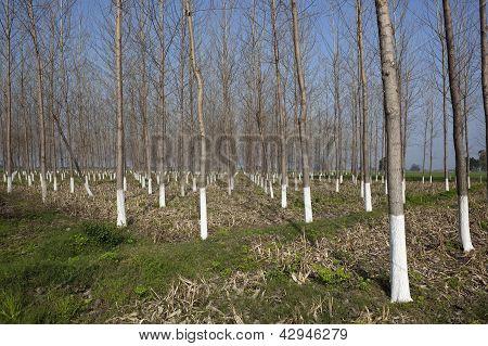 Balsam Poplar Plantation