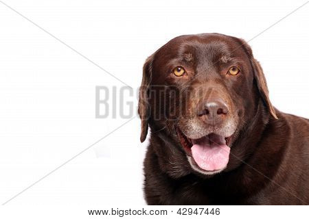 Happy Labrador Retriever