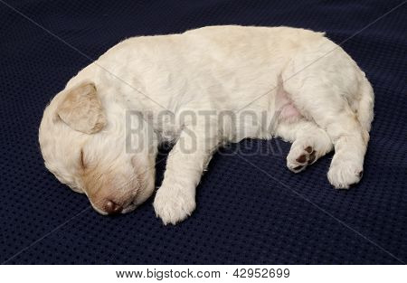 White Labradoodle Puppy