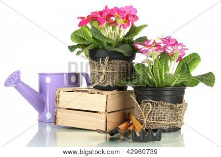 Beautiful pink primula in flowerpots and gardening tools, isolated on white