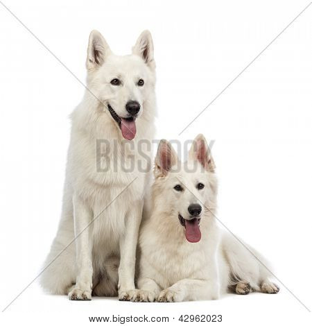 Two Swiss Shepherd dogs, 5 years old, panting, lying and sitting in front of white background