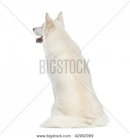 Rear view of a Swiss Shepherd dog, 5 years old, sitting in front of white background