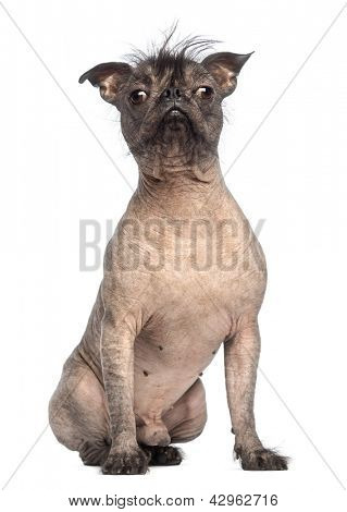 Hairless Mixed-breed dog, mix between a French bulldog and a Chinese crested dog, sitting and looking at the camera in front of white background