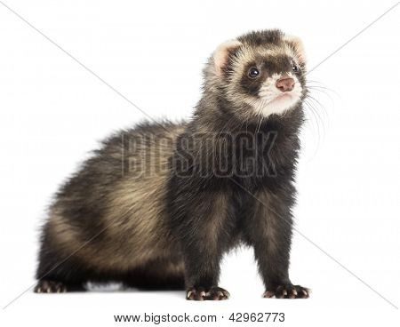 Ferret, 9 months old, looking away in front of white background