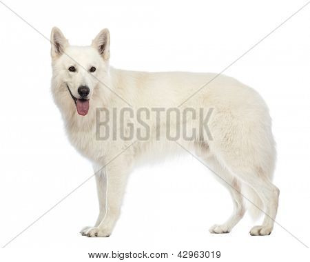 Side view of a Swiss Shepherd dog, 5 years old, panting and looking away in front of white background