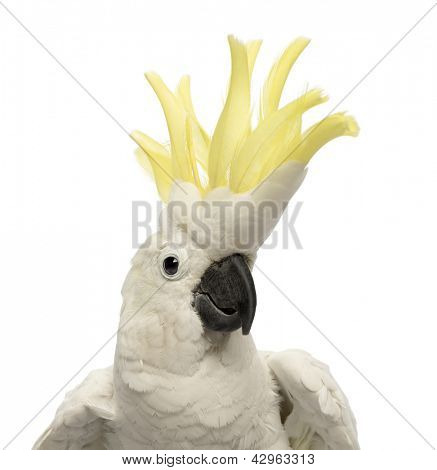 Close-up of a Sulphur-crested Cockatoo, Cacatua galerita, 30 years old, with crest up in front of white background