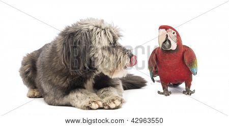 Crossbreed, 4 years old, lying, licking and looking at a Green-winged Macaw, Ara chloropterus, 1 year old, in front of white background