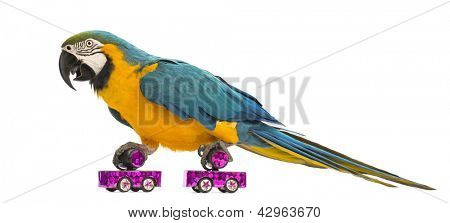 Blue-and-yellow Macaw, Ara ararauna, 30 years old, roller skating in front of white background