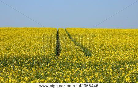 Val D Oise, A Field Of Rape In Spring