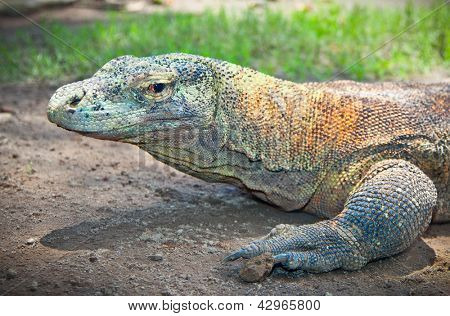 Portrait of Komodo Dragon (Varanus komodoensis).  Java, Indonesia.
