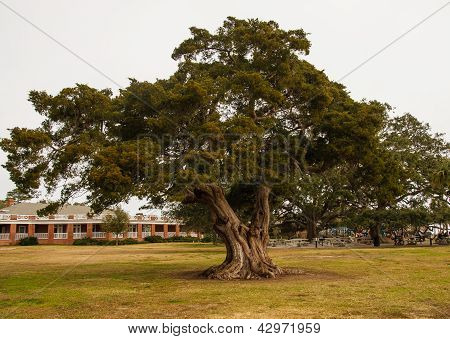 Huge Old Oak Tree In Public Park