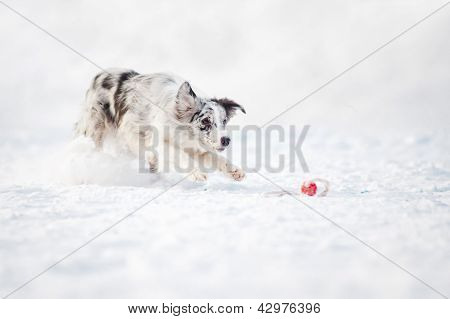 Border collie dog running to catch a toy in winter