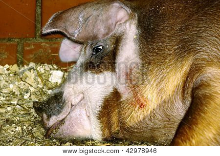 Muzzle of lying pig
