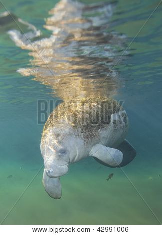 Manatee Greeting - Fanning Springs