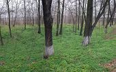 stock photo of dnepropetrovsk  - Black trunks of trees and carpet of green grass near Orlovschina - JPG