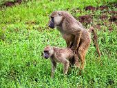 stock photo of copulation  - Baboon monkeys during copulation - JPG