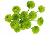 Green Chrysanthemum Bouquet