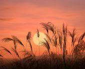stock photo of bulrushes  - bulrushes against sunlight over sky background in sunset - JPG