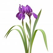 stock photo of purple iris  - Purple Iris Flowers Isolated on White Background - JPG