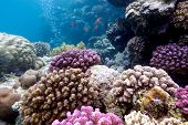 picture of undersea  - colorful coral reef with hard corals on the bottom of red sea in egypt - JPG